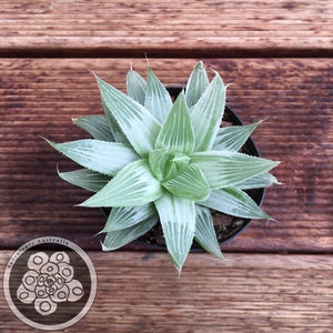 Haworthia White Ghost