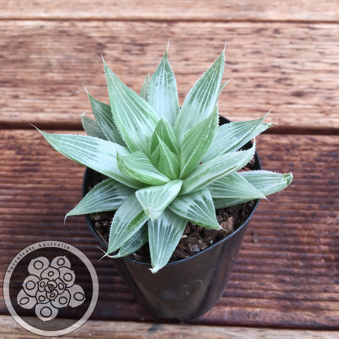 Haworthia Grey Ghost