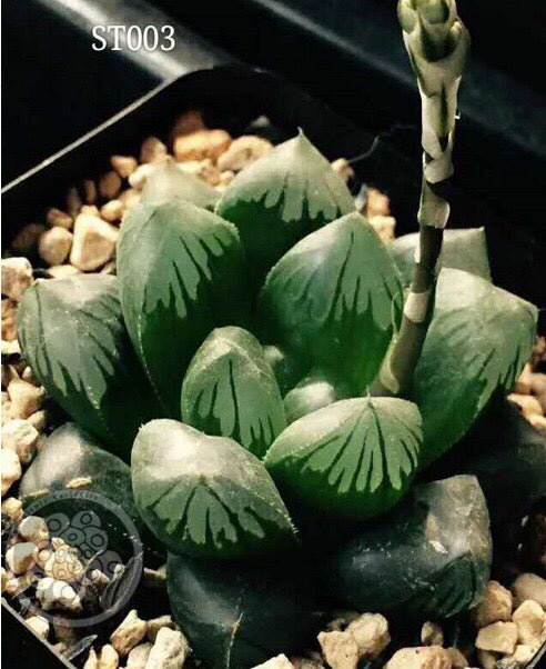 Haworthia cooperi DARK GRAPE (C22)