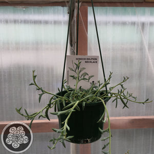 Senecio String of Dolphins