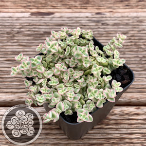 Crassula Little Missy variegata