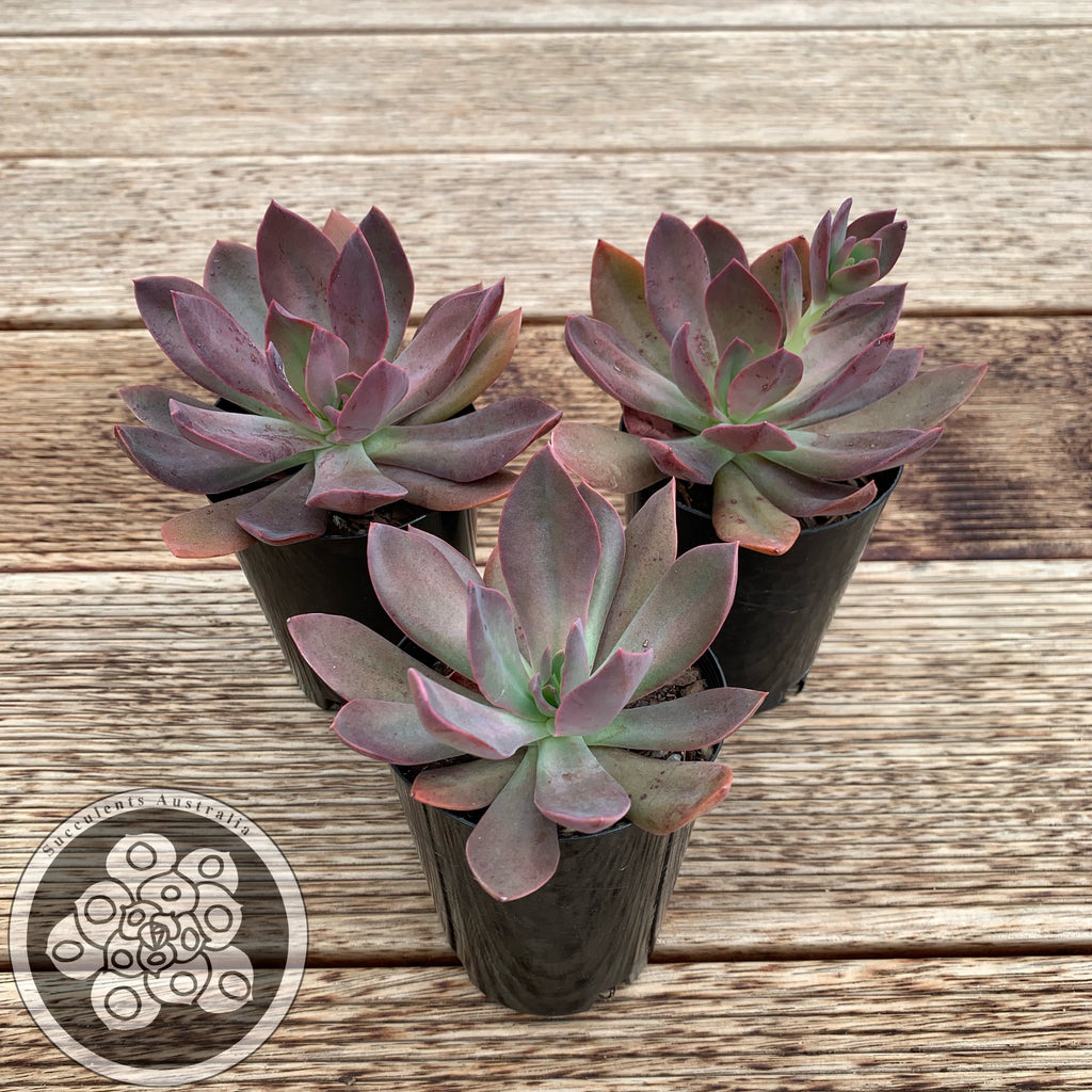 Echeveria Purple Prince