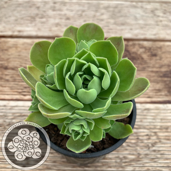 Aeonium Ballerina Reversion