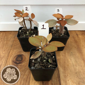 Kalanchoe orgyalis - Copper Spoon