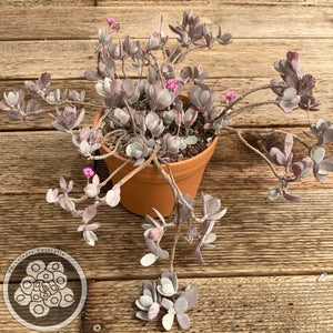 Kalanchoe pumila (Quick Silver)