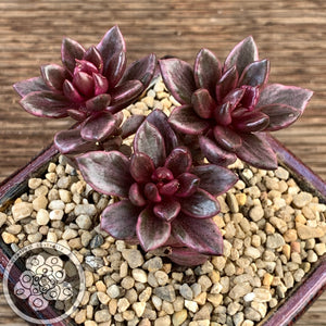 "Lenopetalum Chocolate and Strawberries – Red variegate form of ""Chocolate var"""