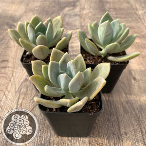 Pachyveria Light and Lovely