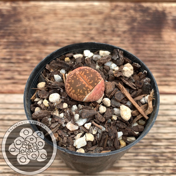 Lithops aucampiae cv. Very Red - Living Stone