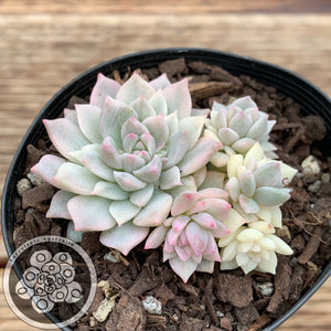 Echeveria prolifica 'Little Rose' variegata