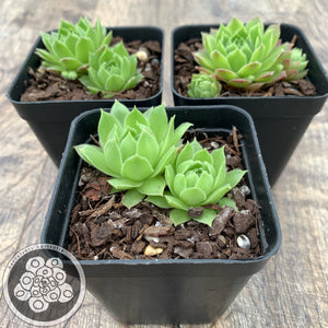 Sempervivum Sirius (Yellow, Green & Red)