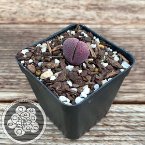 Pleiospilos nelii - Royal Flush