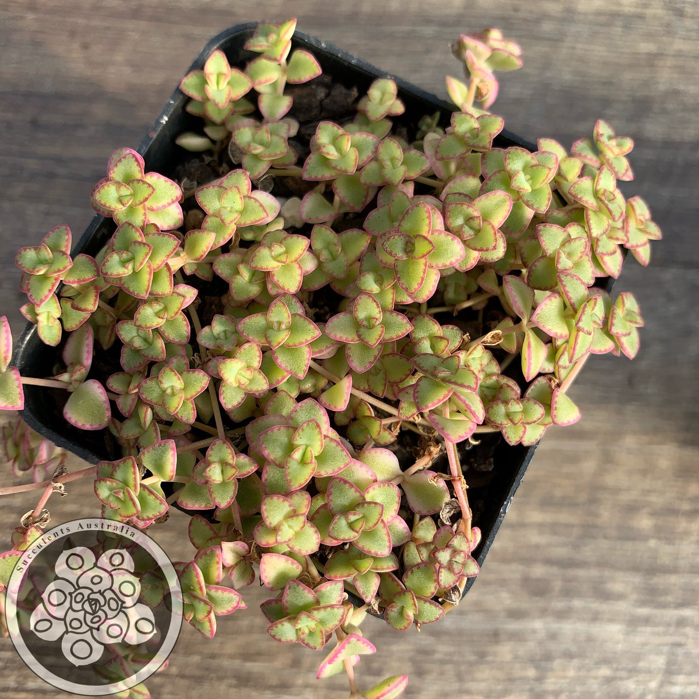Crassula Little Missy Succulents Australia Sales