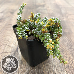 Crassula corallina Japan large form
