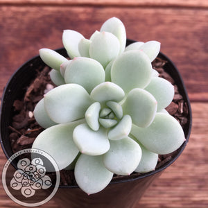 Sedeveria Pudgy