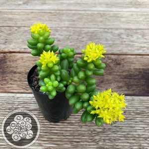 Sedum hernandezii - Green Turtles Egg