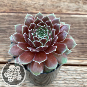 Sempervivum Director Jacobs