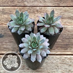 Sempervivum Lavender Doll