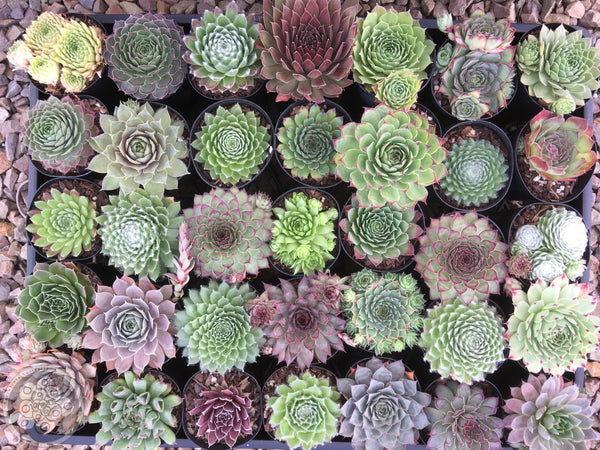 A Sempervivum collection set.