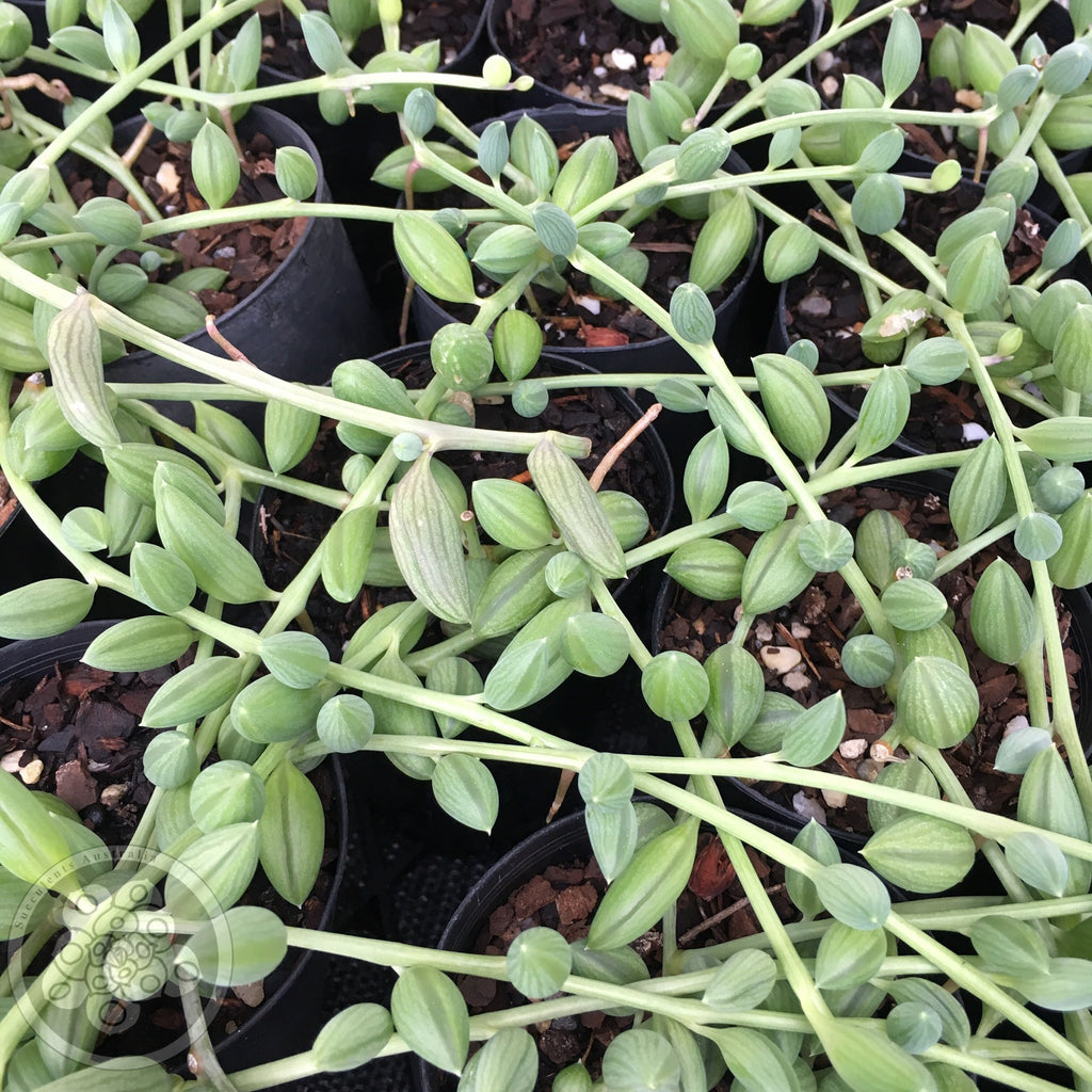 Senecio herreianus - String of Watermelon