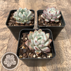 Echeveria Violet Magic