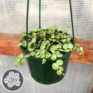 Peperomia Jade Necklace