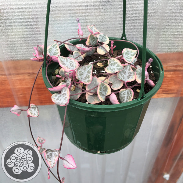 Ceropegia Chain of Hearts variegated