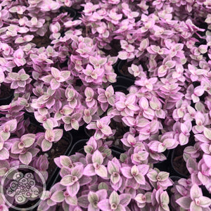 Callisia repens - Pink Lady