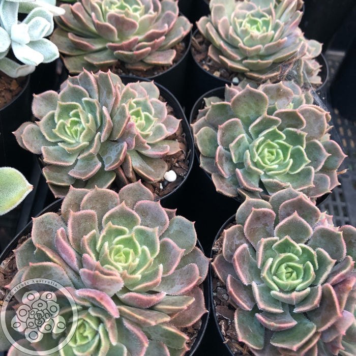 Echeveria Brown Rose