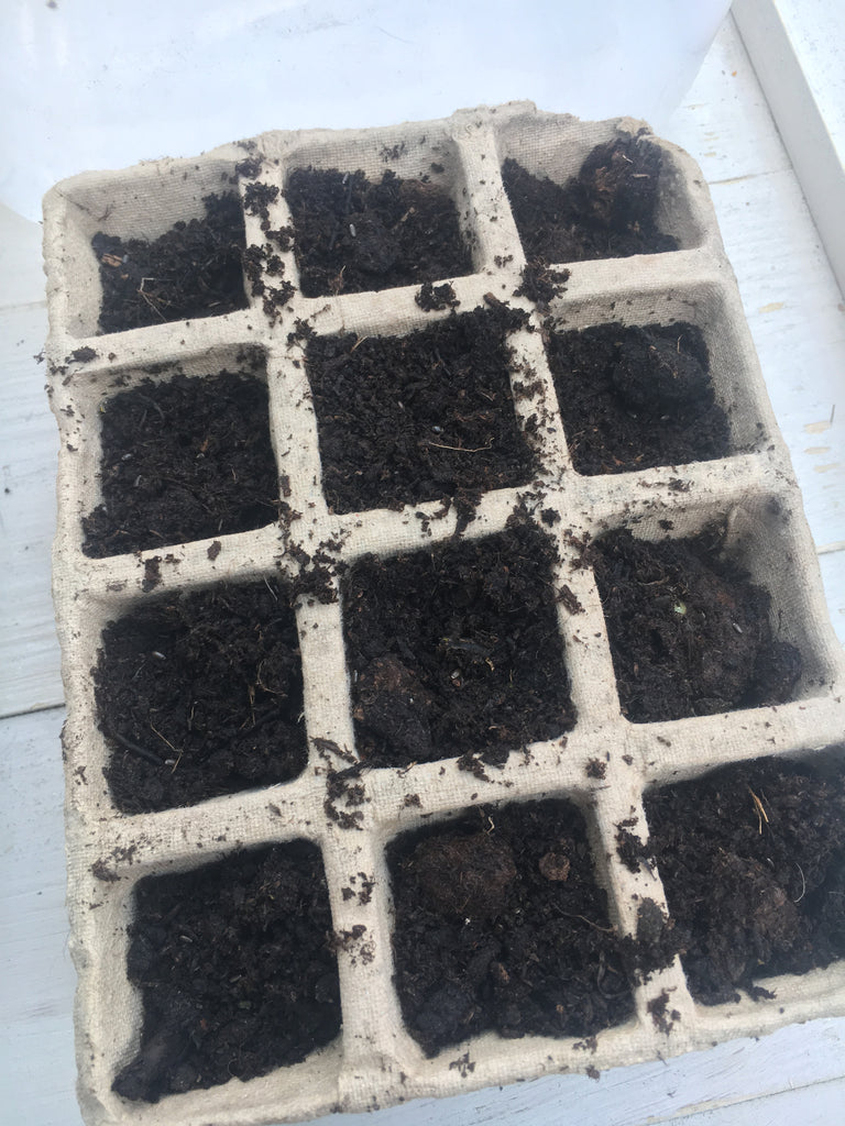 sowing lavender seeds in a modular tray