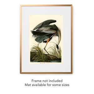 GREAT BLUE HERON - AUDUBON PLATE 211