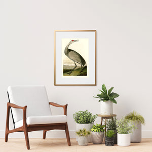 Framed Audubon Hooping Crane art print