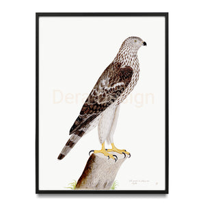 Olof Rudbeck Honey Buzzard Swedish Bird Print