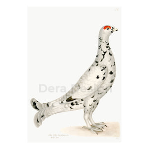 Rudbeck Black Grouse Leucistic Plate 17