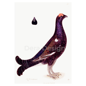 Black Grouse Cock giclée bird print