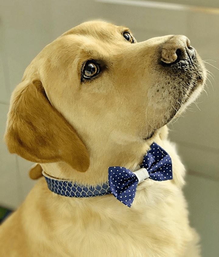 "The ""Blue Polka Dot"" Dog Bow Tie - ArgusCollar"