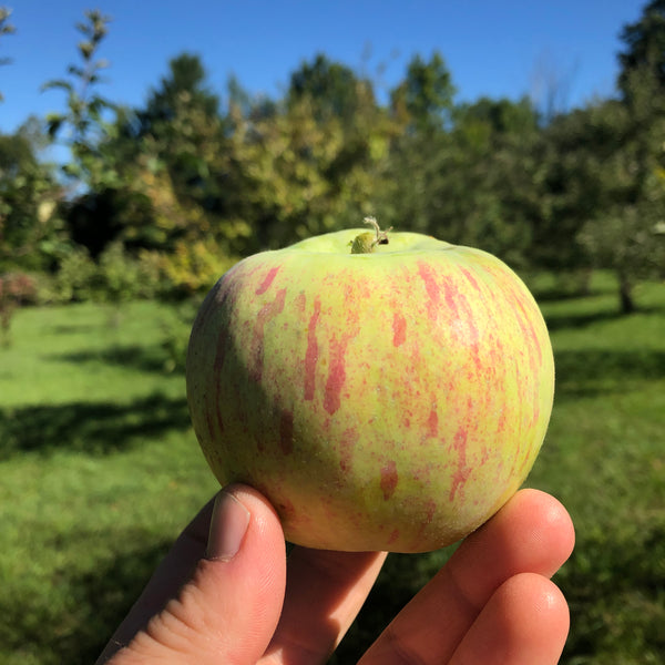 Magog Redstreak Apple