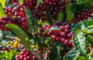 100% Maui Grown Live In Wonder Coffee