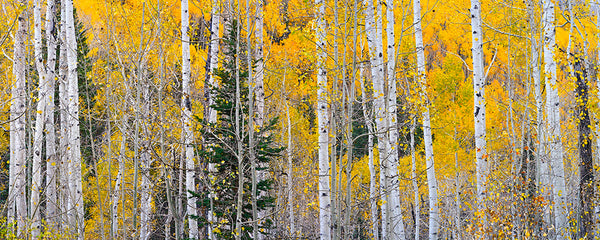 Aspen Light - Igor Menaker Fine Art Photography