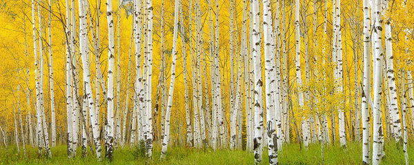 Crystal Aspens - Igor Menaker Fine Art Photography