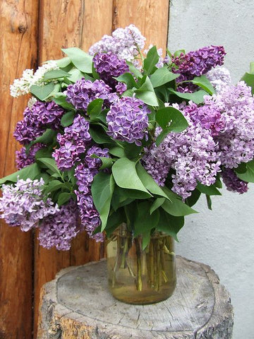 Local Lilac