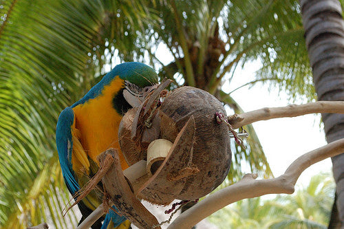 Coconuts For Parrots As Food and Toys