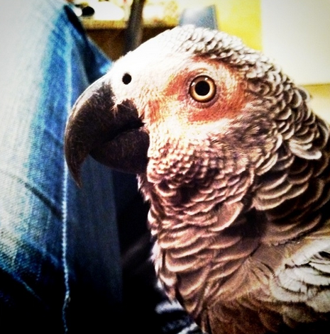 Congo African Grey Learns to Talk