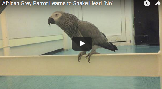 "African Grey Parrot Learns to Shake Head ""No"""