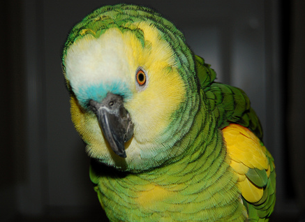 Blue Fronted Amazon Parrot: Meet Storm