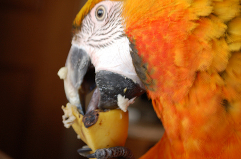 How Common Sense And Research Guided Me To The Right Parrot Diet In The Dark Ages (before internet)