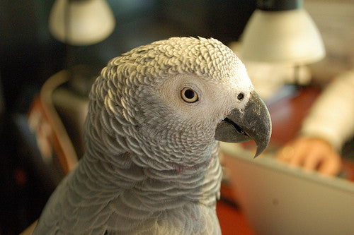 Parrots Abused In Drug Environments