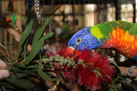 Photo of lorikeet with bottlebrush by Mel Vincent