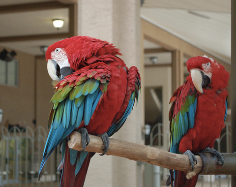 How to Care for a Green Wing Macaw