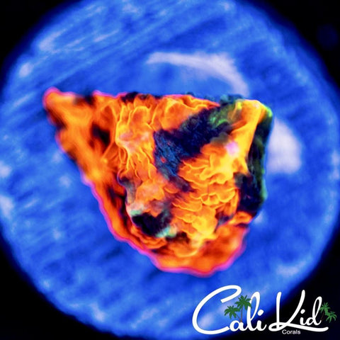 Cali Kid Coachella Tenius *New Release*