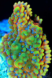 Cali Kid Peyote Dreams Montipora